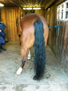 Ataxie beim Pferd