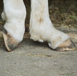 Fesselträger Erkrankung Pferd