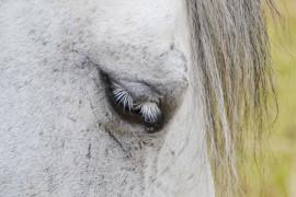 Equines Sarkoid am Pferd