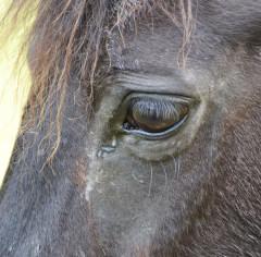 Bindehautentzündung beim Pferd