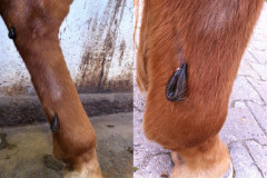 Trittverletzung beim Pferd