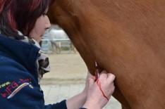 Blutabnahme und Labor beim Pferd